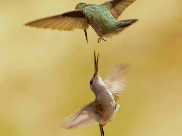 hummingbirds in flight
