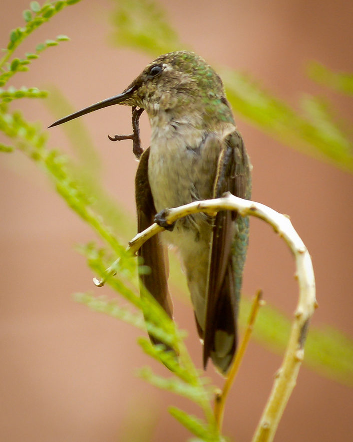 Hummingbird scratching face