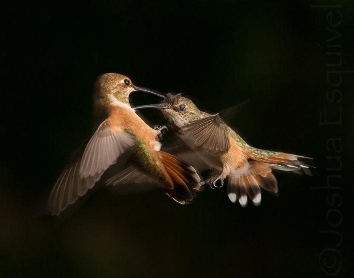 hummingbirds in action