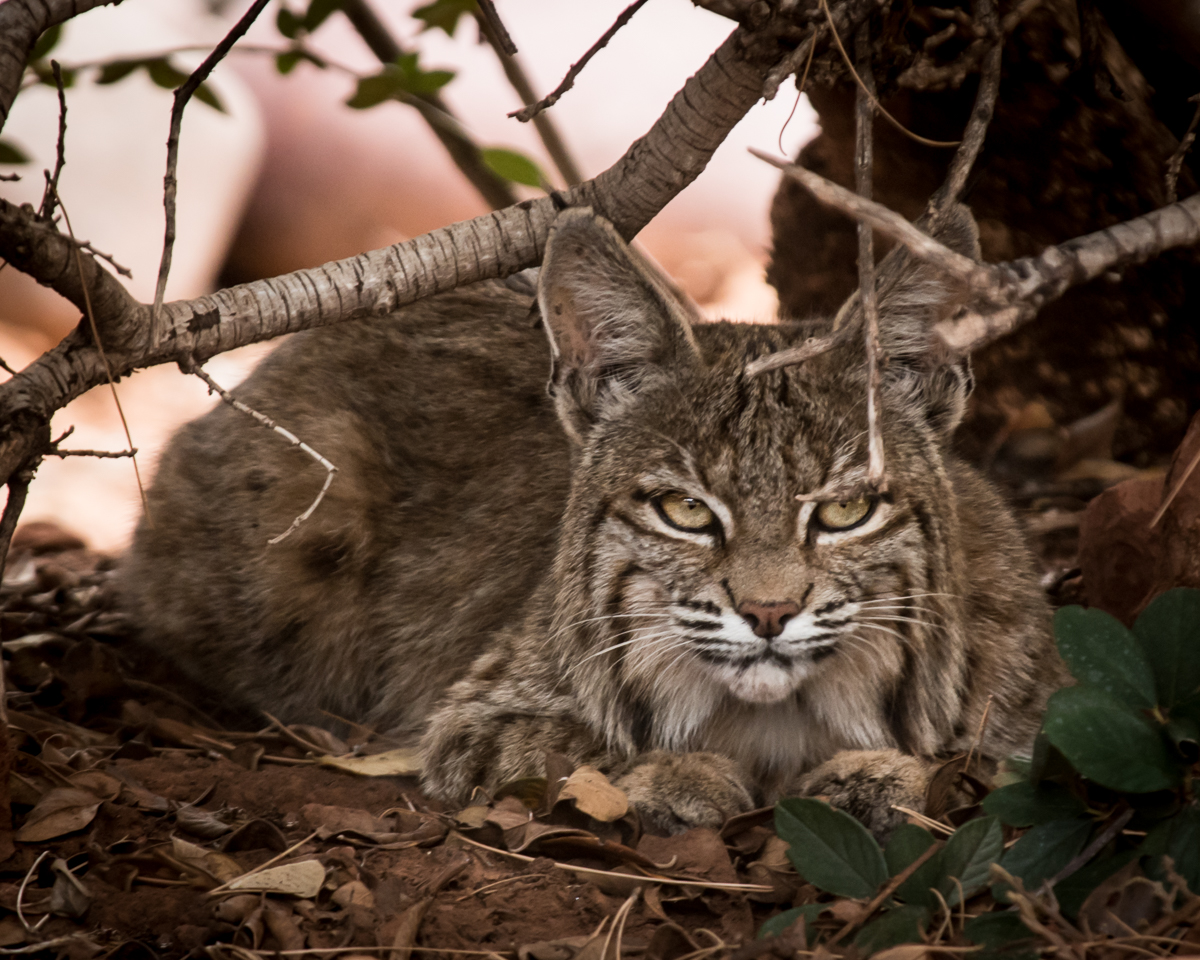 bobcat in Sedona Arizona
