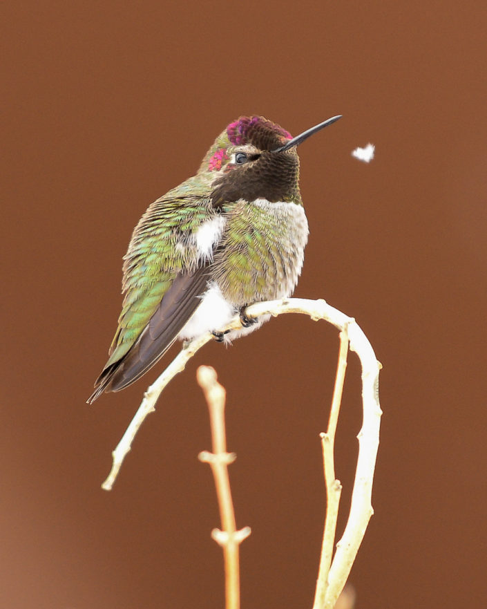 Anna's hummingbird snow