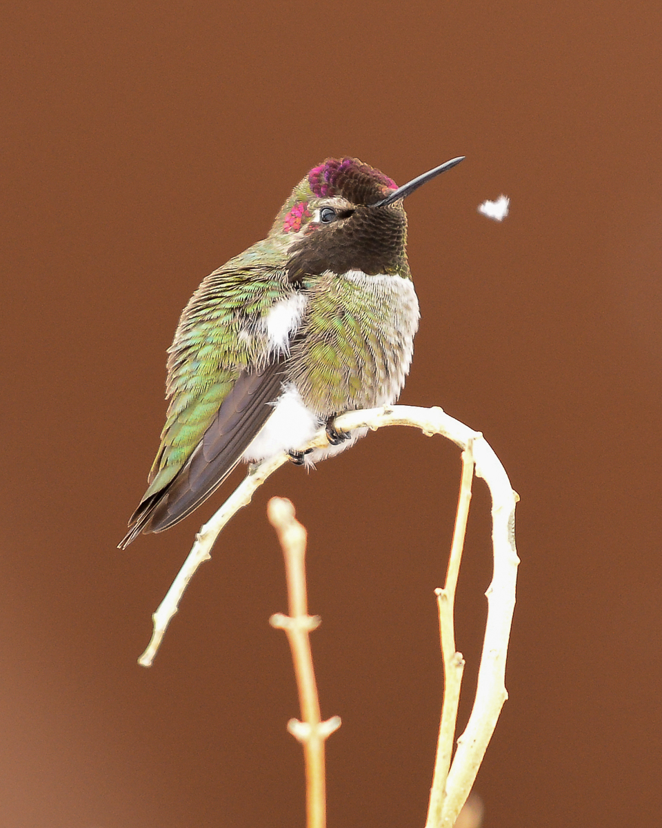 Anna's hummingbird snow