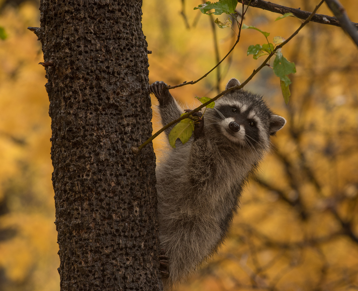 Raccoon in Sedona, Arizona