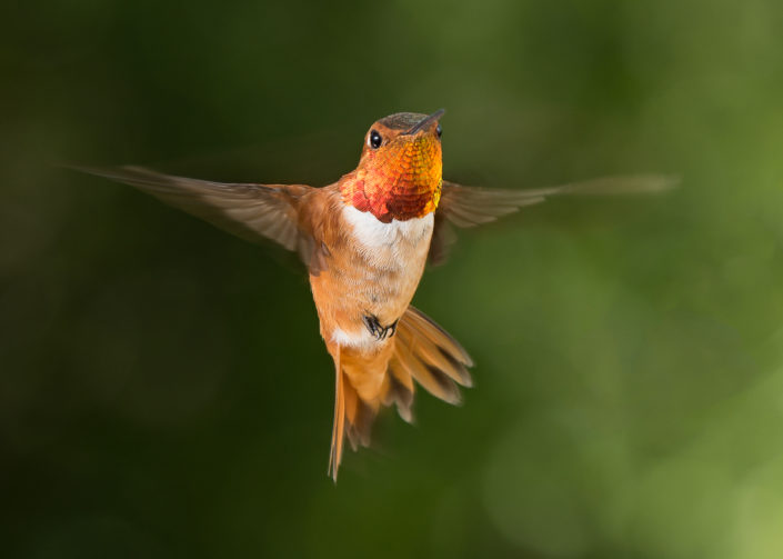 Hummingbird macro shot